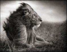 Lion Before Storm II – Sitting Profile, Maasai Mara