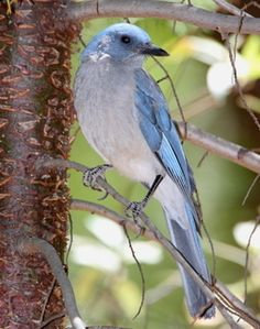 Mexican Jay -whole group in Ramsey Canyon