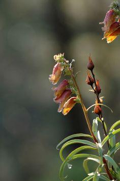 Digitalis obscura subsp. obscura