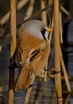 Bearded Tit | by MOZBOZ1