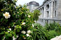 White camellia bush in flower with Parliament buildings in background