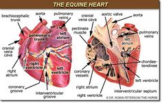 equine heart