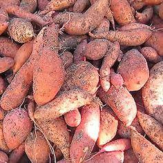 Jednoduchý návod ako vypestovať sladké zemiaky. Sladké zemiaky síce môžu byť drahé, no existuje spôsob ako nimi zaplniť celú záhradu a neminúť pritom via... Fruit Garden, Potatoes, Vegetables, Food, Gardening, Potato, Essen, Lawn And Garden, Orchards