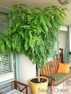Potted Curry Leaf Tree | semi-shade | water twice a week | feed with seaweed tea once every couple of months