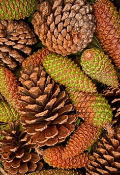 the beauty of pine cones.  Fall, Julian, could be a good idea to use in table deco.
