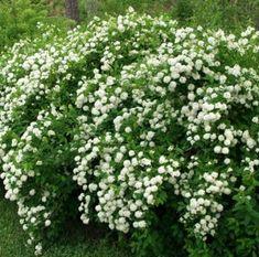 Spirea chamaedryfolia, virpiangervo