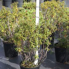 багульник болотный 40-50 в контейнере C3. Розничная цена 3000 руб. Plant Nursery, Plants, Vivarium, Plant, Planets, Green Houses