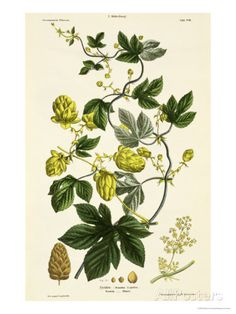 Hop Vine, from The Young Landsman, Published Vienna, 1845 Giclee Print by Matthias Trentsensky at AllPosters.com