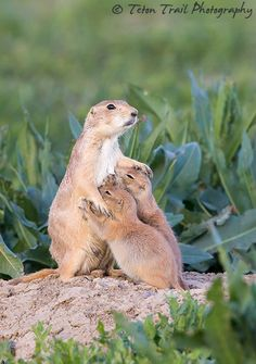 "A Mother's Care - Prairie Dog & Pups, Colorado Front Range  To see more of my work, please visit my website and other online galleries using the links given below.  Thanks! <a href=""http://www.tetontrail.com"">Website</a> 