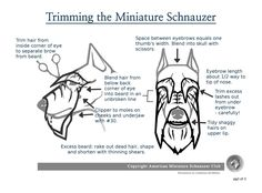 Your Schnauzer relies on you for his/her basic dog care needs . This includes: routine vet visits, dog grooming, dental care, daily exercise, proper nutrition, fresh water, obedience training, mental...