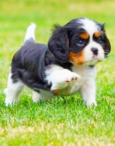 King Charles Puppy, Cavalier King Charles Dog, King Charles Spaniel, Spaniel Breeds, Spaniel Puppies, Cute Dogs And Puppies, Doggies, Jolie Photo, Cute Little Animals