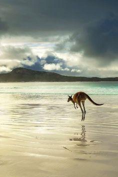 "Western Grey Kangaroo ~ by Joel Durbridge ~ Australia ~ Miks' Pics ""Animals V"" board @ http://www.pinterest.com/msmgish/animals-v/"