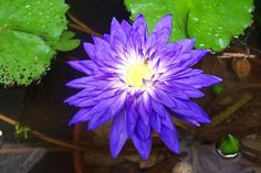 tropical water lily - LOVE these!