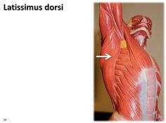 Latissimus dorsi, dynamic pose - Muscles of the Upper Extremity Visual Atlas, page 34   by Rob Swatski