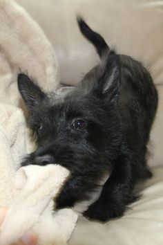 Wee Flynn (Owner Mary Wayne - Beautiful Scotties)