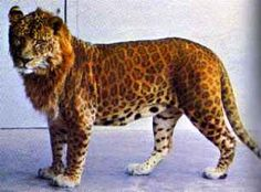 Jaglion - a hybrid cross between a male jaguar and a lioness