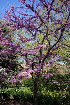 Lilac Tree @ Lilacia Park (Lombard, IL) » 2013-05-13