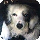 Houston, TX - Dachshund. Meet Kyle Kingfisher, a dog for adoption. http://www.adoptapet.com/pet/10612967-houston-texas-dachshund