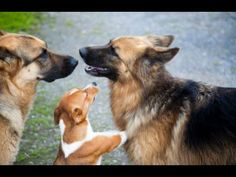 Dog Aggression Towards Other Dogs Put a Stop to Dominant Behavior