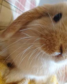 bun up close _____ _____ #twixthebunny _____________________________________________ #bunnies #dailyfluff #buzzfeedanimals #bunniesofinstagram #cuteanimals #rabbits #rabbitsofinstagram #whiskers ----- #cutepets #bunniesworldwide #instabunny #showcasing_pets #babyanimals #rabbitstagram #bunnystagram #fluffball #cutepet #bunnyrabbit #minilop #petgram #houserabbit #dailydoseofcute #cuteanimal #rabbitsofig #bunnygram #bunbunshout #fabbunnies #vipbignightin #friendsofmill -----