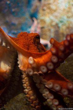 Giant Pacific Octopus by WadeLee. Underwater Images, Underwater Life, Underwater Photography, Octopus Squid, Octopus Art, Octopus Eyes, Beautiful Creatures, Animals Beautiful, Tattoo Coloring Book
