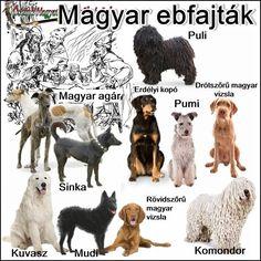 Magyar Agar, Hungarian Dog, Komondor, Herding Dogs, Dog Show, Vizsla, Doberman, Hungary, Small Dogs