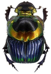 Scarab Beetle (Just for you Carrie. ;))