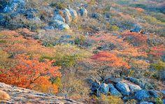 Masasa trees in color, Zimbabwe