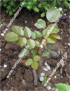 Inmultirea trandafirului Planting Flowers, Wisteria, Herbs, Gardening, Tudor, Roses, Health, Gardens, Agriculture