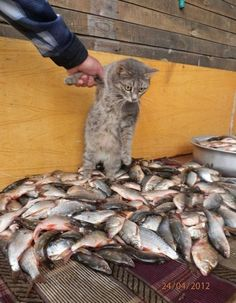 This kitty looks mesmerized by this big bounty of fish....as if the rest of the world around him just melted away!