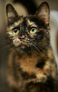 """Look""""s like my beautiful chcaulet tortie shell cindy sue witch act''s like a 2 yr old love her"""