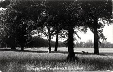 Photograph - Sheep grazing in Hagley Park, Christchurch , Christchurch City Libraries Heritage Photograph Collection Christchurch New Zealand, City Library, Sheep, The Past, Photograph, Country Roads, Street View, Park, Places