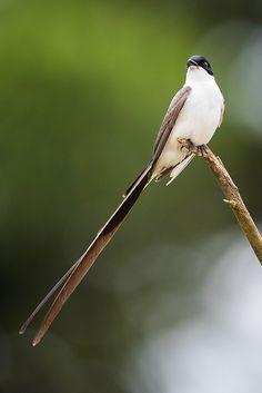 Foto tesourinha (Tyrannus savana) por Raphael Macek