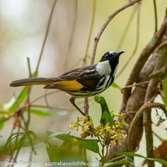 Welcome to the Australia's Wildlife photography gallery page for the North Coast Region: Photography Gallery, Wildlife Photography, Australian Birds, New Holland, North Coast, Nature Photography