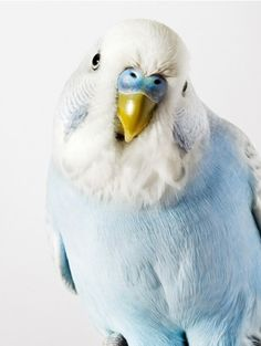 blue budgie or parakeet Pretty Birds, Love Birds, Beautiful Birds, Animals Beautiful, Cute Animals, Beautiful Series, Pretty Baby, Beautiful Things, Blue Budgie
