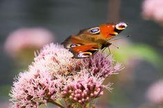 #Bretagne #Finistere #papillon #butterfly © Paul Kerrien  http://toilapol.net