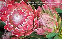 Protea 'Andrea' and 'Pink Duke' Flor Protea, Protea Art, Protea Flower, Exotic Flowers, Tropical Flowers, Amazing Flowers, Beautiful Flowers, Australian Wildflowers, Australian Native Flowers