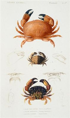 in Art, Art from Dealers & Resellers, Prints Antique Illustration, Nature Illustration, Scientific Drawing, In Natura, Human Art, Vintage Artwork, Wildlife Art, Art Pages, Natural History