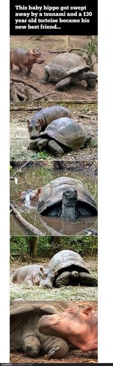 No man... nor hippo... nor tortoise ... is an island ---> Love this comment, as well as the pictures.