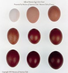 The Chocolate eggs of a Black Copper Marans Chicken Egg Colors, Chicken Eggs, Best Chicken Coop, Fresh Chicken, Chicken Coops, Farm Chicken, Maran Chickens, Egg Chart, Black Copper Marans