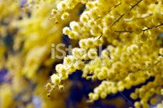 Wattle Bloom in Soft Focus Royalty Free Stock Photo