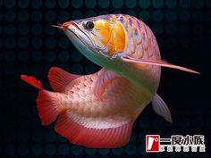 Dragon-Fish-Arowana-beauty+%2830%29.jpg (500×377)