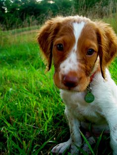 brittany spaniel puppy. Looks so much like my dog, except she's the dark brown version
