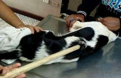 """Un hombre fanático taurino"""" le clavó una banderilla a un perro, fue llevado a una clínica veterinaria para que le extrajeran la banderilla."""