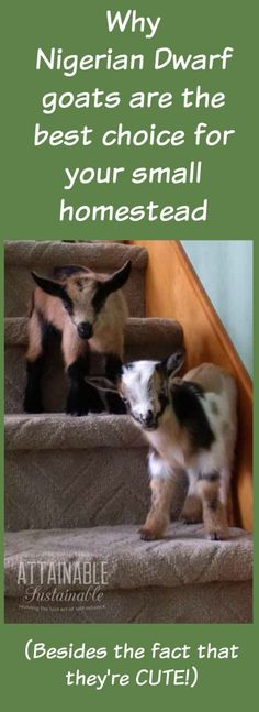 Nigerian Dwarf goats are a great choice for any size homestead, who are short on space. Nigerian goats are the perfect small scale dairy animal. Gato Bengali, Goat Care, Nigerian Dwarf Goats, Raising Goats, Raising Farm Animals, Baby Goats, Mini Goats, Mini Farm, Goat Farming