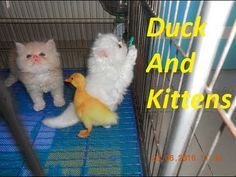 So Funny Duck And Kittens | Funny Ducks 2016 | Meo Cover Home