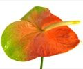 Anthurium Peach Obake