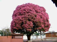 Sapucaia - Jardim de Flores