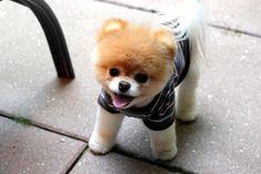 карликовые породы собак - Поиск в Google