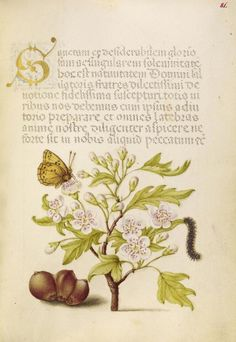 [folio 81r] Joris Hoefnagel (illuminator) [Flemish / Hungarian, 1542 - 1600], and Georg Bocskay (scribe) [Hungarian, died 1575], Insect, English Hawthorn, Caterpillar, and European Filbert, Flemish and Hungarian, 1561 - 1562; illumination added 1591 - 1596, Watercolors, gold and silver paint, and ink on parchment, Leaf: 16.6 x 12.4 cm (6 9/16 x 4 7/8 in.), 86.MV.527.81.